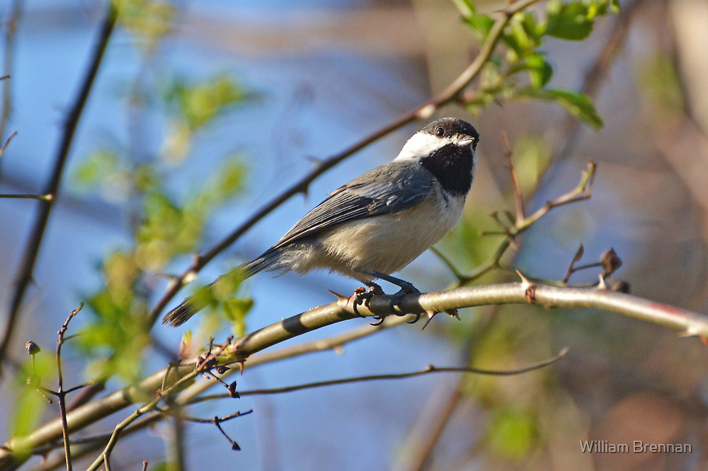 Chickadee9 by William Brennan