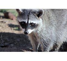 Raccoon  (Procyon lotor) Photographic Print