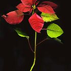Pointsettia Stem by Barbara Wyeth