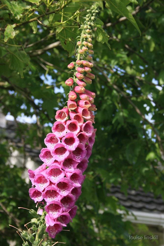 foxgloves last blooms by louise linskill