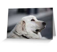 Head side of the big white dog Greeting Card