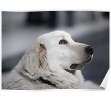 Head side of the big white dog Poster