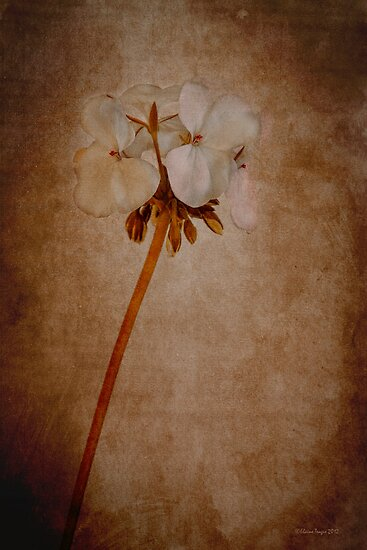 White Geranium by Elaine Teague