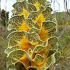 Cabbage Gloriana: Fitzgerald River National Park, Western Australia by linfranca