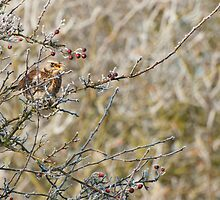 frosty fieldfare by Steve Shand