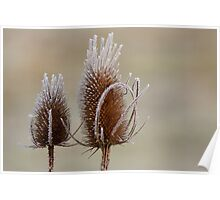 Frosty Teasels Poster