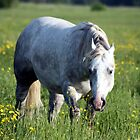 White Horse in Pasture by Johnny Furlotte