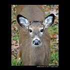 Odocoileus Virginianus - North American White-Tailed Deer - Middle Island, New York by © Sophie W. Smith