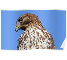 Coopers hawk profile Poster