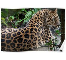 The Amur leopard  ambush  Poster