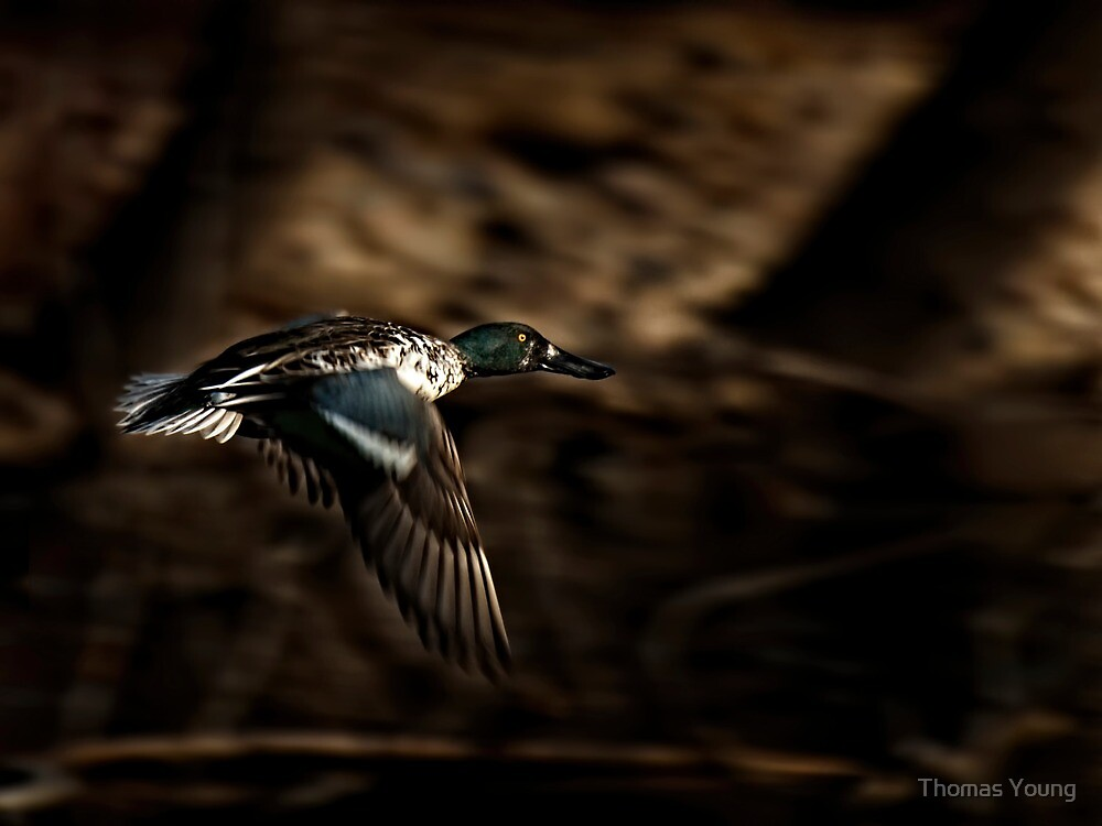 Flying Northern Shoveler by Thomas Young
