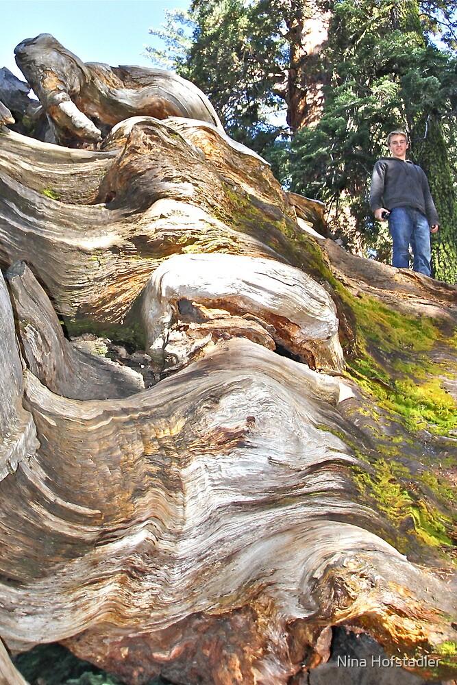 Wavy Redwoods by Nina Hofstadler
