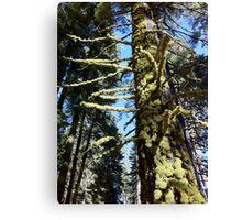 Mossy Tree 2 Canvas Print