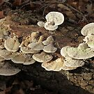 Polypores on a Dead Log by ChuckBuckner