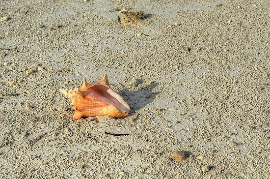 Conch on wet sand at Fox Hill Creek in Nassau, The Bahamas by 242Digital