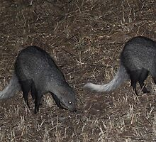 Two White-tailed Mongoose at Night by Carole-Anne