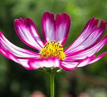 """Cosmos """"Candy stripe"""" by LizSB"""