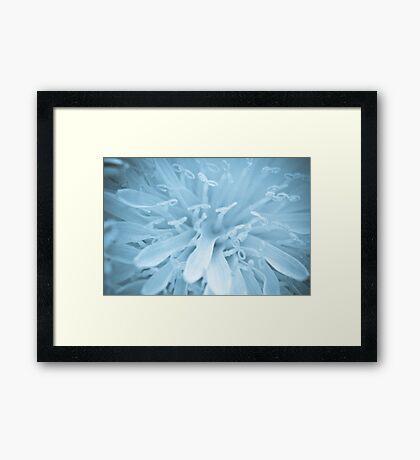 Closeup of a dandelion Framed Print