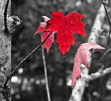 Maple Leaf Red by LadyEloise
