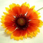 """Flower 6 by Chip Fatula by njchip123"