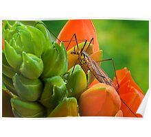 Tipula (Tipulidae) Poster