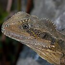 Portrait - Young Water Dragon Lizard by stevealder