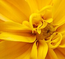 Yellow Dahlia by Fabio Catapane