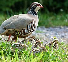 Mother Partridge with her Young Brood by Jason Christopher