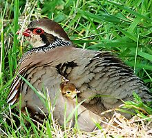 Mother Partridge with her Family Under Wing by Jason Christopher