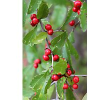 Deciduous Holly Photographic Print