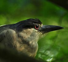 First Mornings Light On A Night Heron by Kathy Baccari