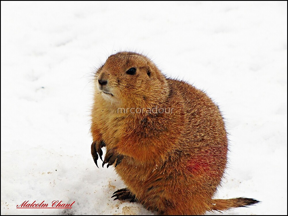 """"""" I hate the snow"""" by Malcolm Chant"""