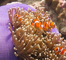Underwater World - Anemonefish by Marjan Visser | Photography