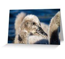 Black Swan Cygnet, QLD, Australia Greeting Card