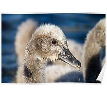 Black Swan Cygnet, QLD, Australia Poster