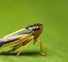 Leafhopper by Ivan Yonkov