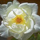 J.F.Kennedy Hybrid Tea Rose by David DeWitt