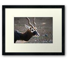Male Blackbuck Framed Print