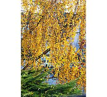 My Birchtree in Fall - Antwerp - Belgium Photographic Print