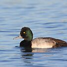 Lesser Scaup by ruth  jolly