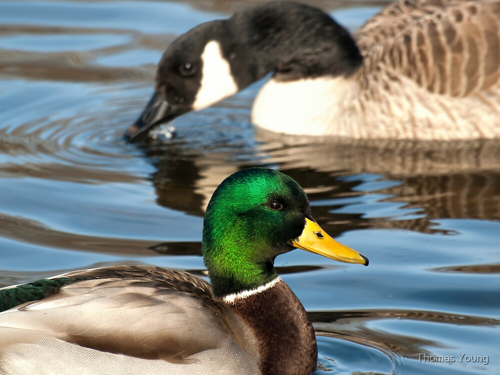 Duck Duck Goose by Thomas Young