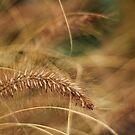 Ornamental Grass by Tracy Friesen