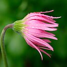 Another beautiful pink Gerbera by Clare Colins