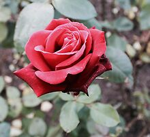 Red Rose by samjadex
