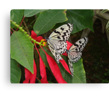 Pair of Butterflies in OKinawa Canvas Print