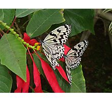 Pair of Butterflies in OKinawa Photographic Print