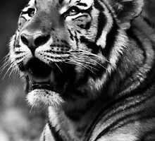 Amur Tigers - Amanda Westerlund by ANWPhotography