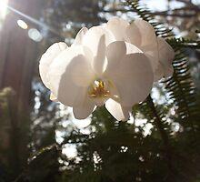Sunlit Orchid by Kelley Shannon