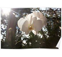 Sunlit Orchid Poster