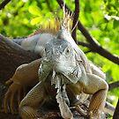 Iguana Royal  by Bernhard Matejka
